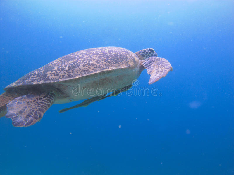 Sköldpadda med echeneisnaucratesen royaltyfri foto