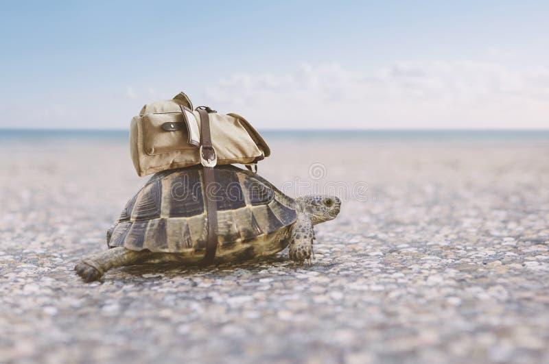 Sköldpadda med ryggsäcken på en baksida royaltyfria foton