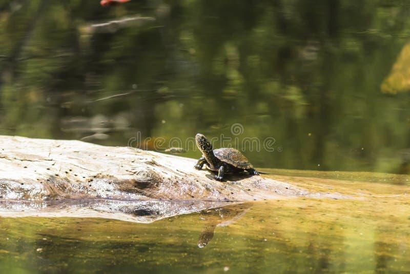 Sköldpadda mellan floden och havet royaltyfria foton