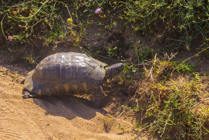 Sköldpadda mellan floden och havet fotografering för bildbyråer