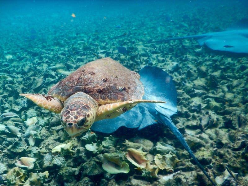 Sköldpadda och Mantaray royaltyfri foto