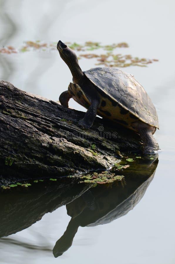 Sköldpadda och vatten arkivbilder