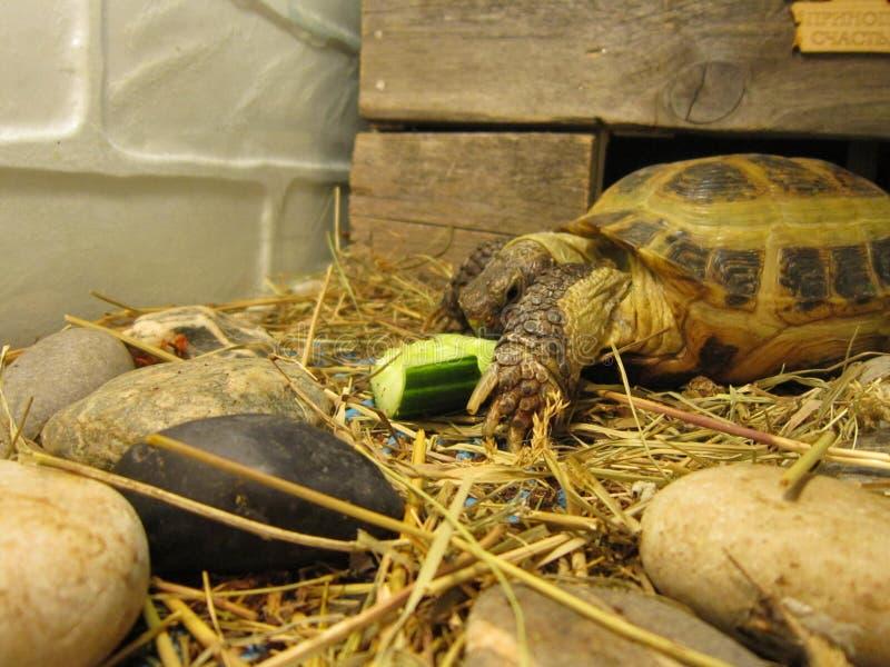 Sköldpadda overland fotografering för bildbyråer