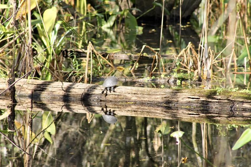 Sköldpadda på ett stupat träd arkivfoto