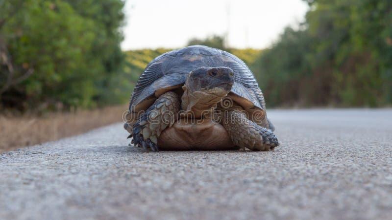 Sköldpadda på sida av den lantliga vägen på sardinen royaltyfri bild