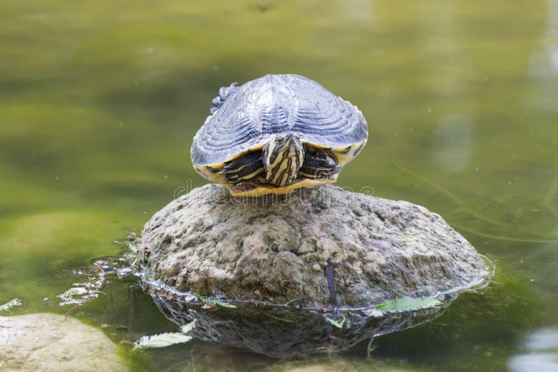 Sköldpadda på sjön fotografering för bildbyråer
