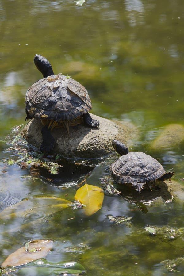 Sköldpadda på sjön arkivfoto