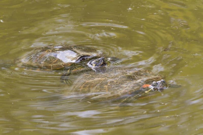 Sköldpadda på sjön arkivfoton