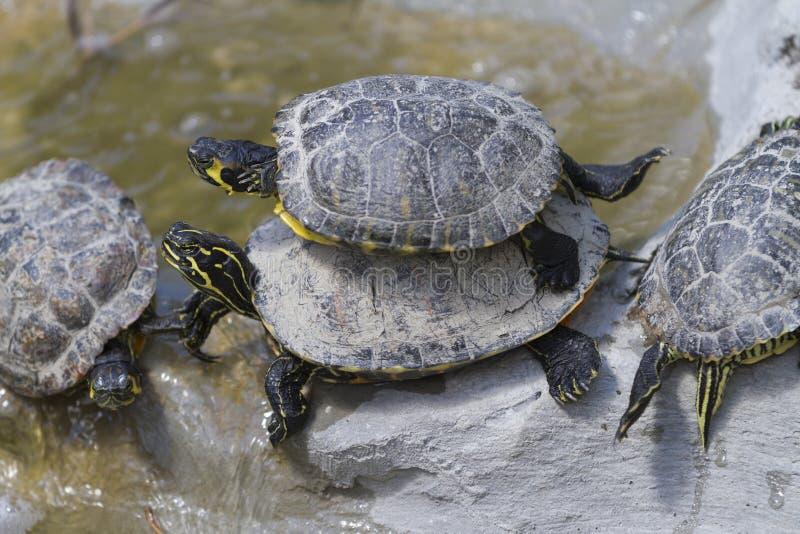 Sköldpadda på sjön arkivbild