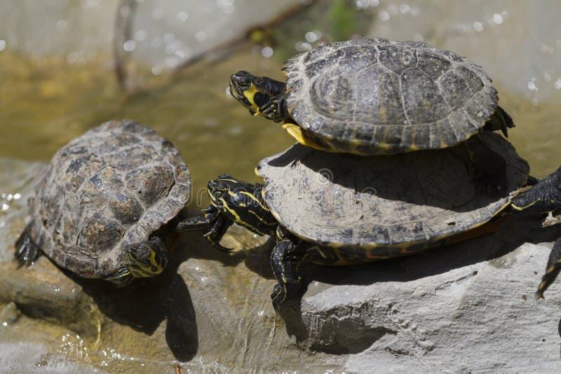 Sköldpadda på sjön royaltyfri bild