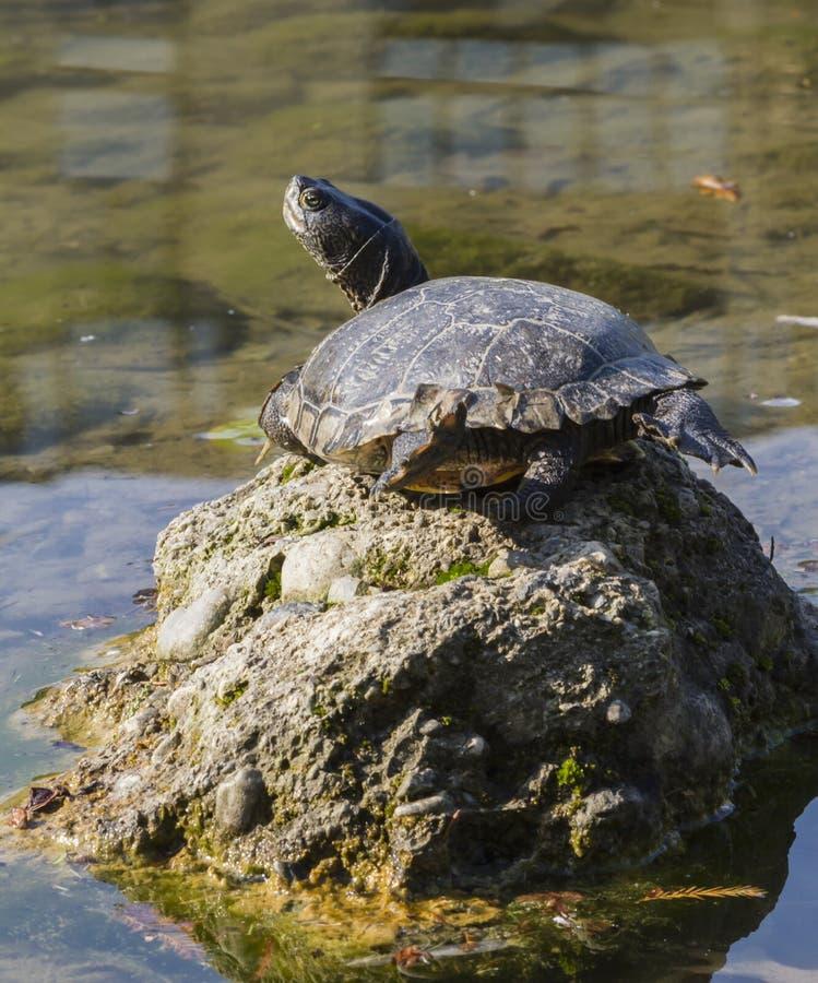 Sköldpadda på sjön royaltyfri foto