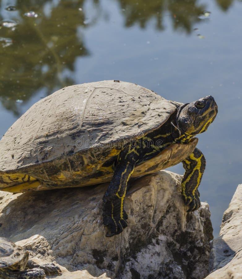 Sköldpadda på sjön arkivbilder