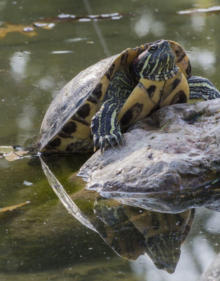 Sköldpadda på sjön royaltyfria bilder