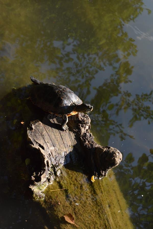 Sköldpadda på trädet royaltyfria bilder