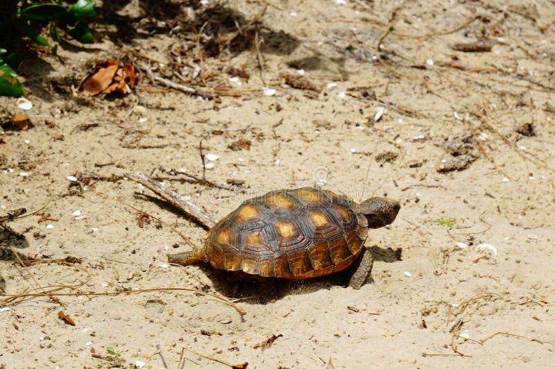 sköldpadda som går på sanden på en strand arkivbild