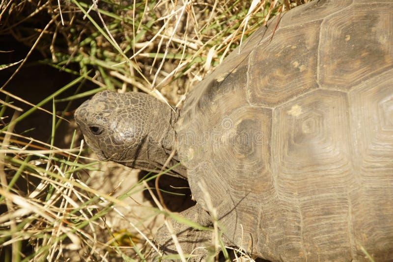 Sköldpadda som hem går arkivfoton