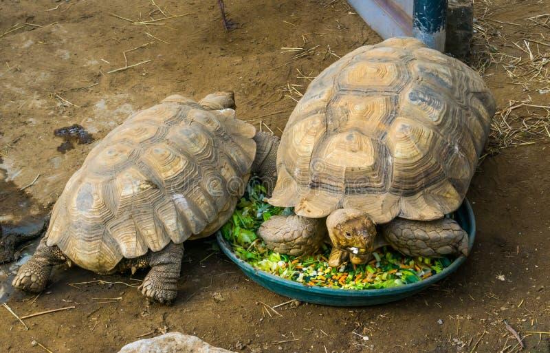 Sköldpadda som sitter i den matande bunken som äter grönsaker, landsköldpaddamatning och husdjuromsorg royaltyfria bilder