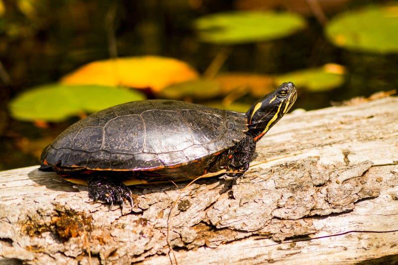 Sköldpadda som solbadar på en journal fotografering för bildbyråer