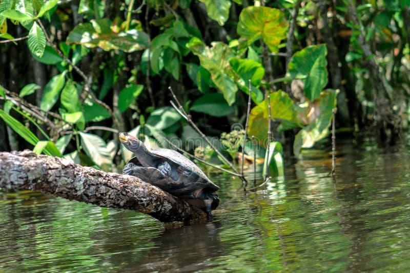 Sköldpadda som upp klättrar en journal över floden i djungeln royaltyfri fotografi