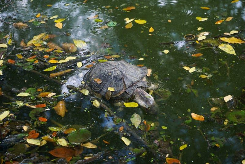 Sköldpaddadöda i förlorat vatten arkivfoto