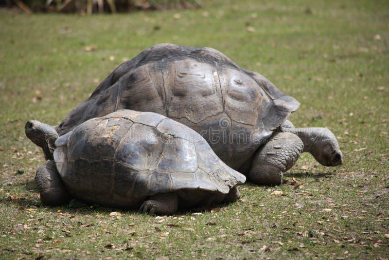Sköldpaddafamiljen är på gräset royaltyfria foton