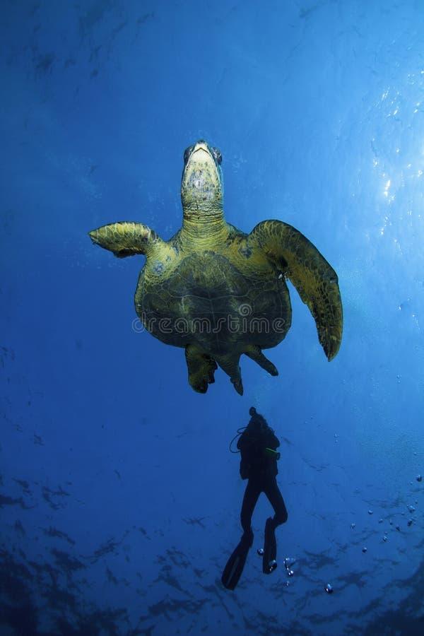 Sköldpaddaflykter från en dykare royaltyfri fotografi