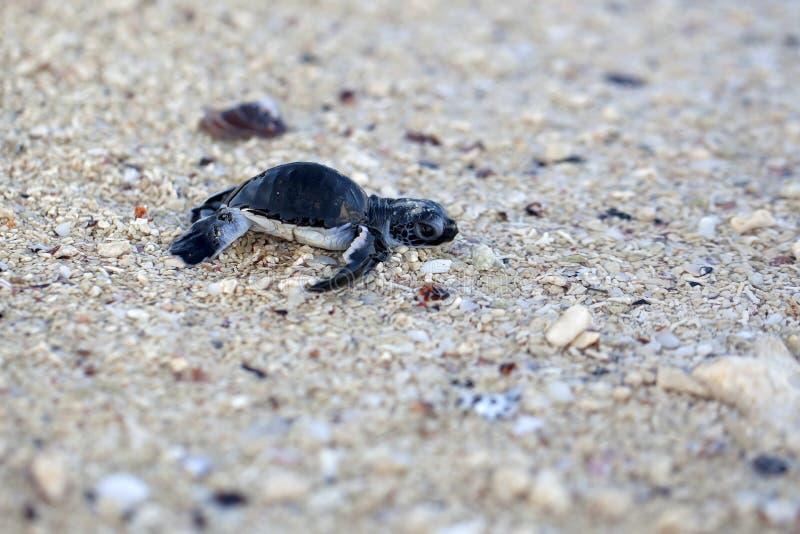 SköldpaddaHatchling för grönt hav royaltyfri fotografi