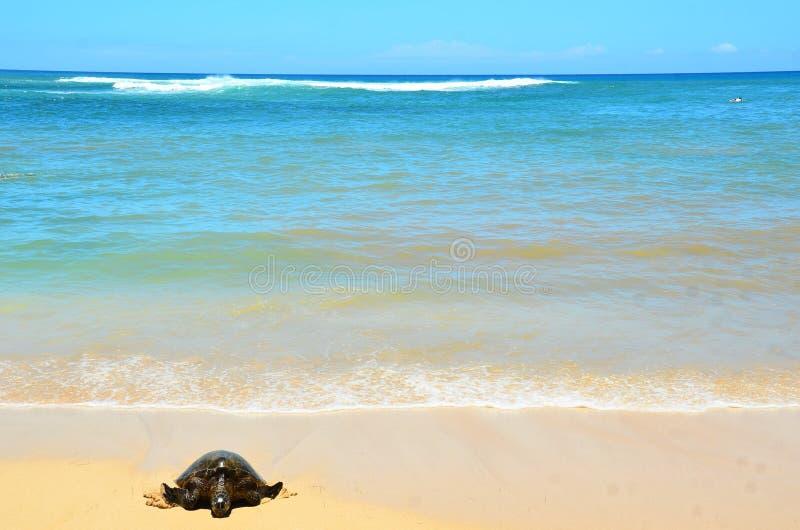 SköldpaddaLaniakea strand Hawaii royaltyfri foto