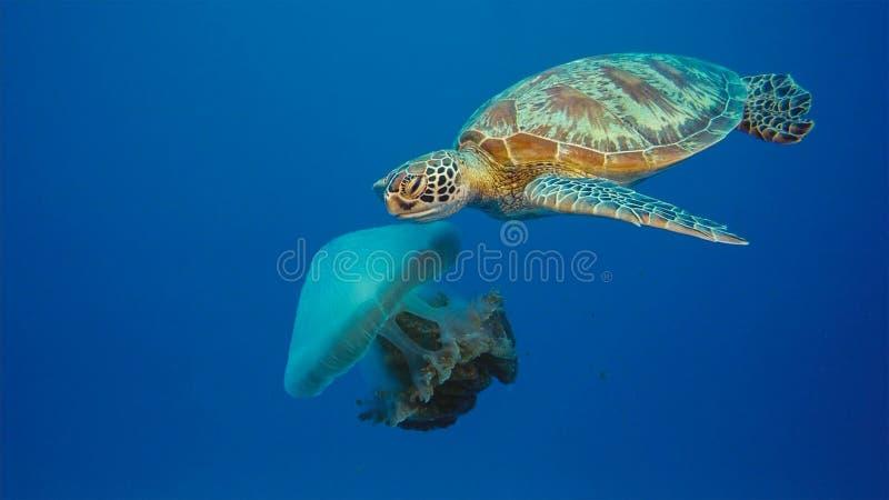 Sköldpaddan för det gröna havet äter den stora kronamanet arkivfoto