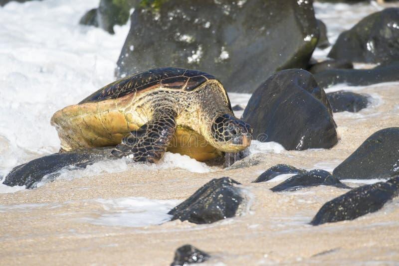 Sköldpaddan för det gröna havet som övervinner, vaggar hinder att göra det till balen av sköldpaddor fotografering för bildbyråer