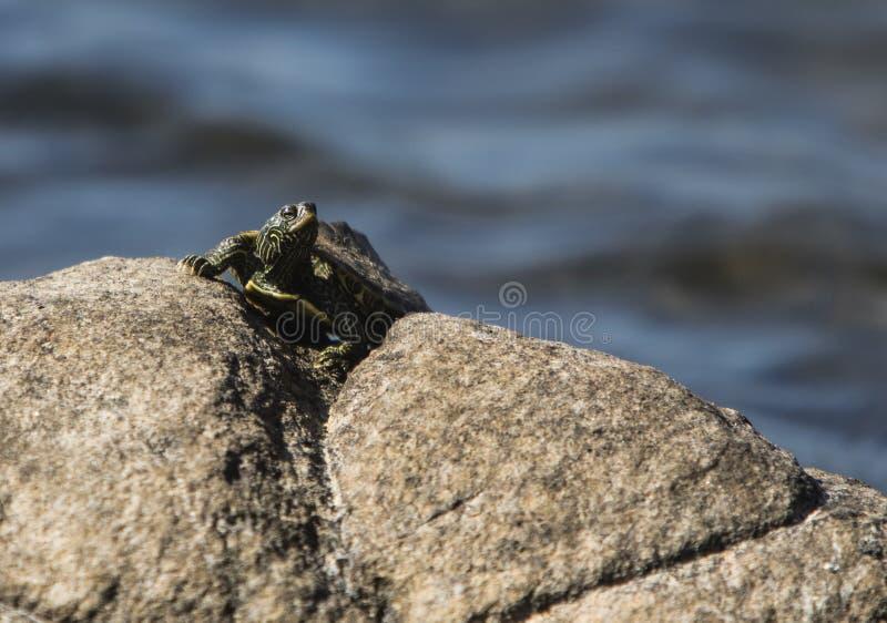 Sköldpaddan på vaggar royaltyfri foto