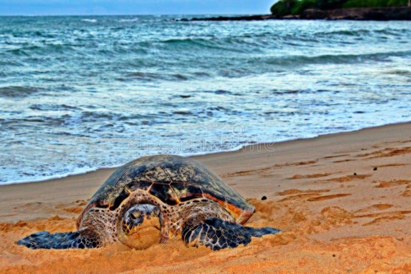 Sköldpaddan på vilar royaltyfria foton