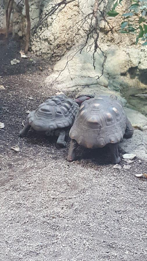 Sköldpaddapar fotografering för bildbyråer