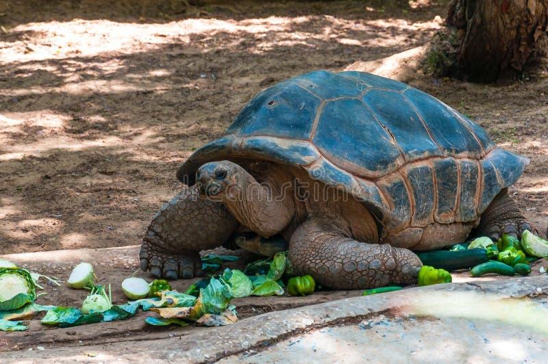 Sköldpaddareptil som äter grönsaker fotografering för bildbyråer
