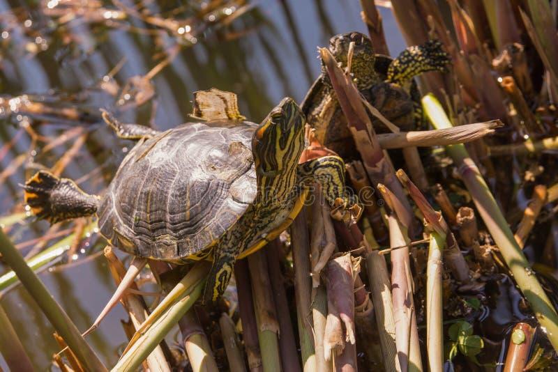 Sköldpaddasammanträde på en sjösida royaltyfri bild