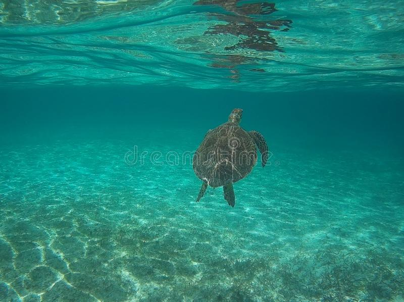 Sköldpaddasimning i den Providencia ön arkivbilder
