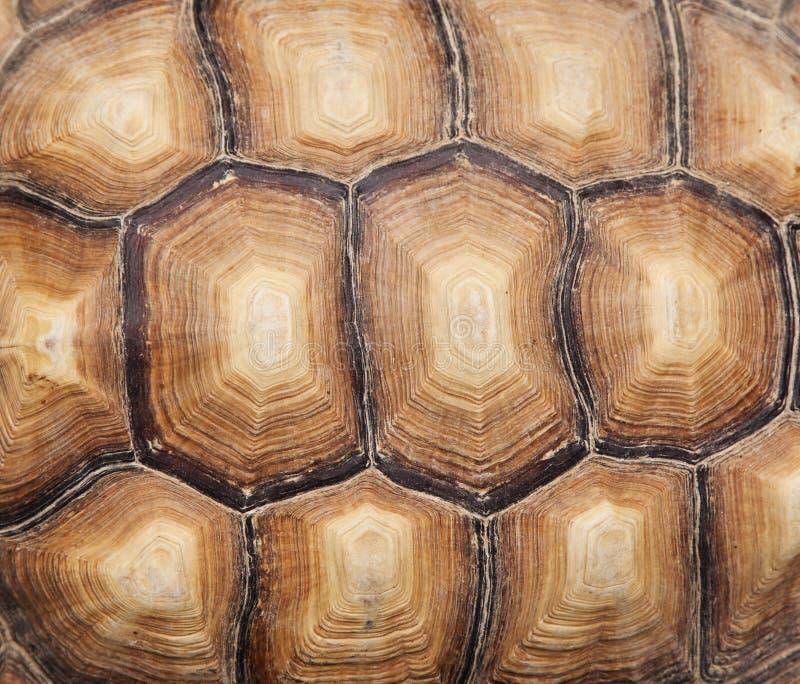 Sköldpaddaskal arkivbild