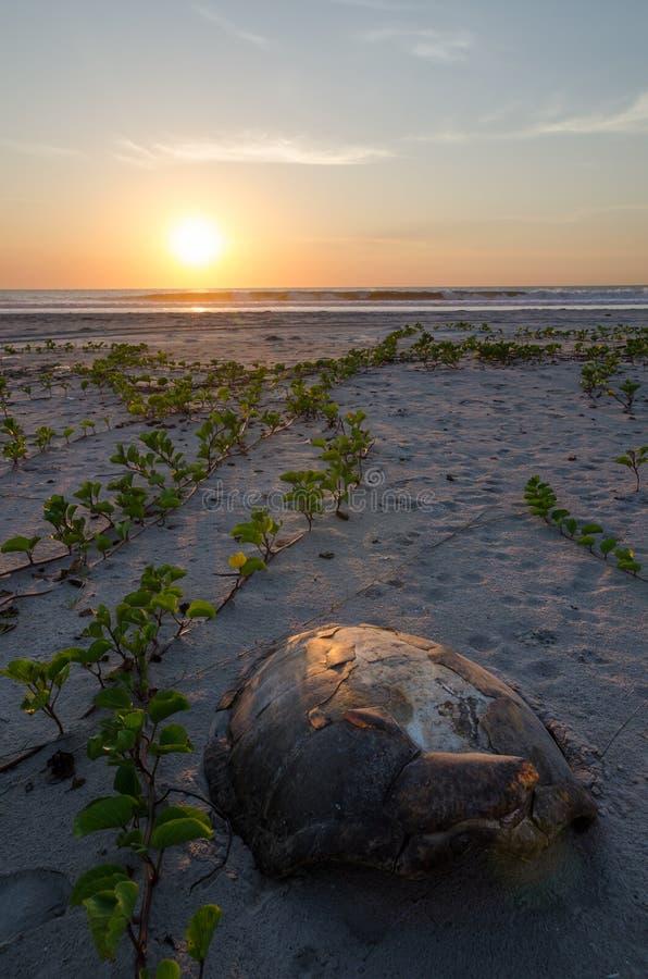 Sköldpaddaskal som lägger på den tomma stranden under den härliga solnedgången i Casamancen, Senegal, Afrika arkivbild