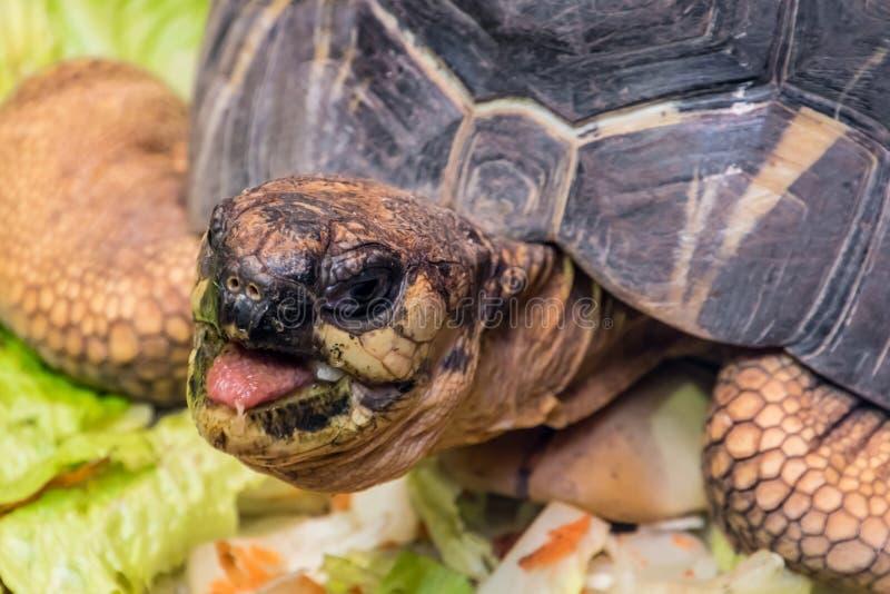 Sköldpaddaskalsköldpadda som äter grönsakreptilhuvudet fotografering för bildbyråer