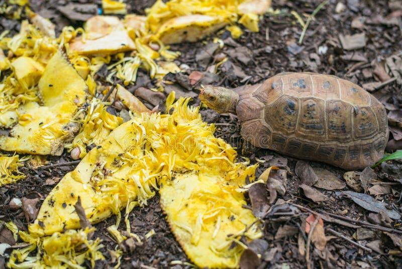 Sköldpaddor äter mat royaltyfria foton
