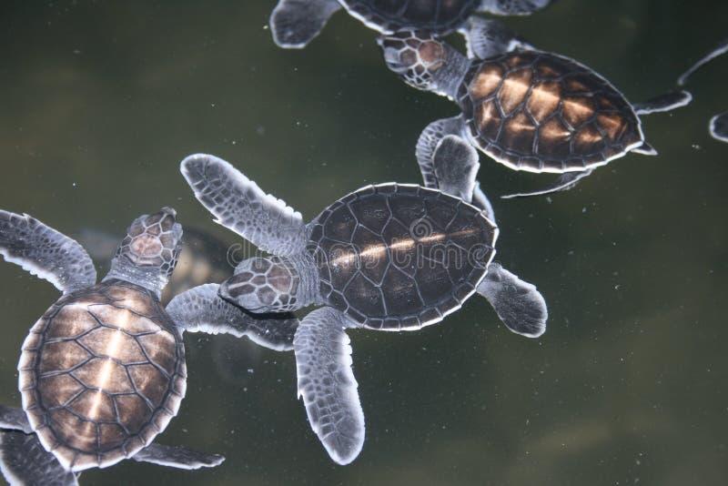 sköldpaddor för dag en arkivfoto