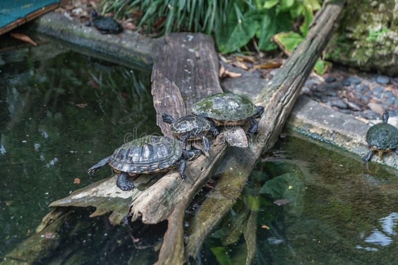 Sköldpaddor i Busch trädgårdar Tampa Bay Florida arkivfoton