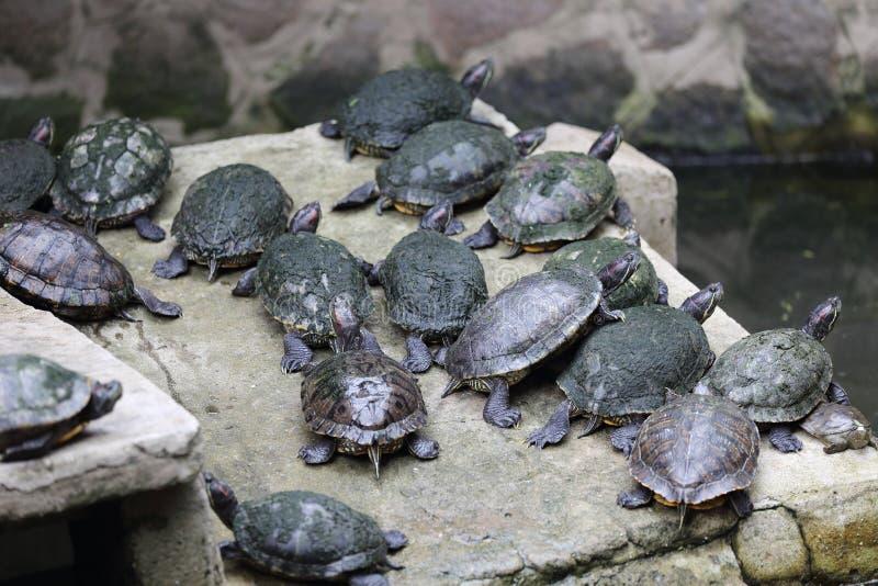 Sköldpaddor i kejsaren Jade Pagoda, Ho Chi Minh City, Vietnam royaltyfri foto