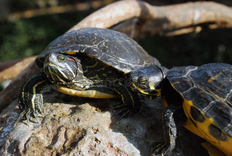 Sköldpaddor i våtmarkerna av Oceanograficen, Valencia, Spanien royaltyfria bilder