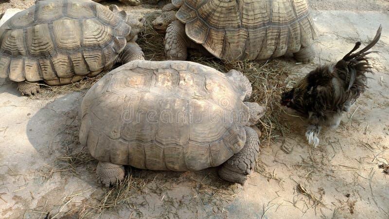 Sköldpaddor och höna fotografering för bildbyråer