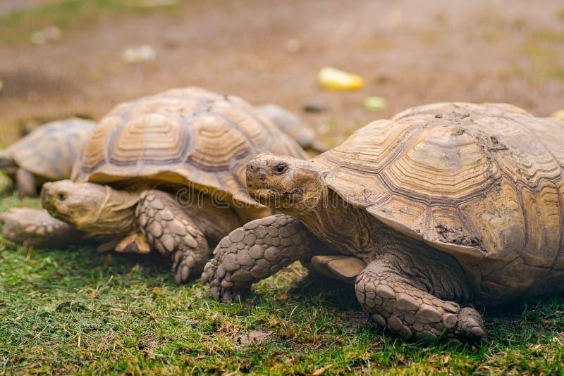 Sköldpaddor på gräsdetaljslut upp ståenden royaltyfri foto