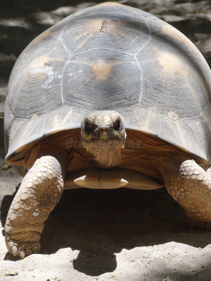 Sköldpaddor på stranden i Madagascar arkivbilder