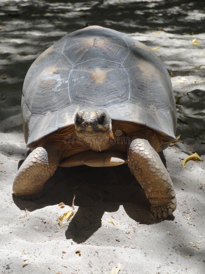 Sköldpaddor på stranden i Madagascar royaltyfria bilder