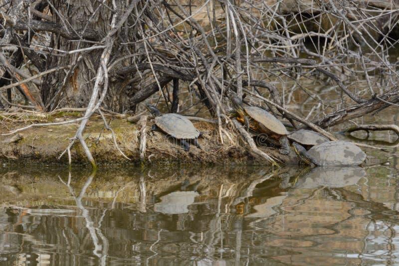 Sköldpaddor som solbadar på sjöön royaltyfria bilder