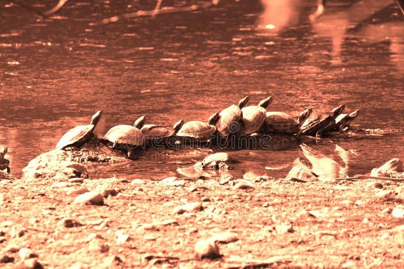 Sköldpaddor som står i samma, placerar - begreppet och metaforen för ny trender eller affär arkivbild